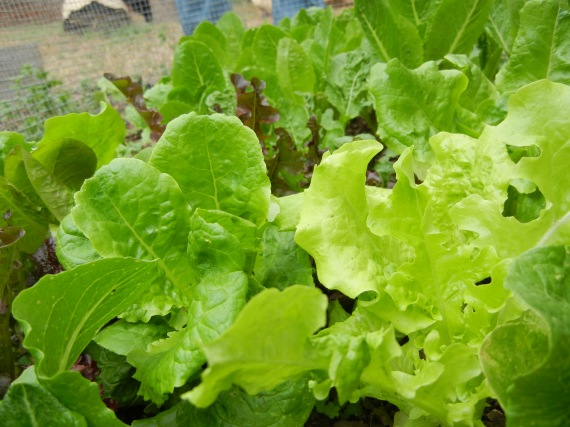 Romaine and mesclun blend